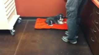 Miniature Schnauzer Easily Lays Down At The Olde Towne Pet Resort Dulles Facility!
