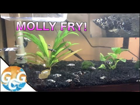 How To Care For Dalmatian Molly Fry :: My Fish Had Babies!!