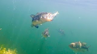 BIG Swimbaits Getting DESTROYED! Epic Underwater Footage!