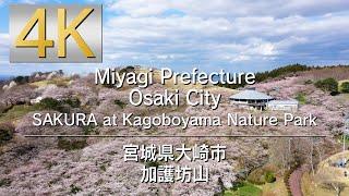 4K SAKURA at Kagoboyama Nature Park 宮城県大崎市加護坊山