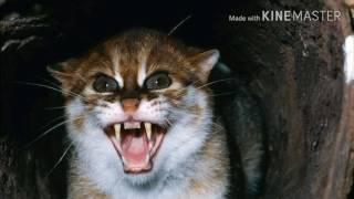 Дикие кошки картинки