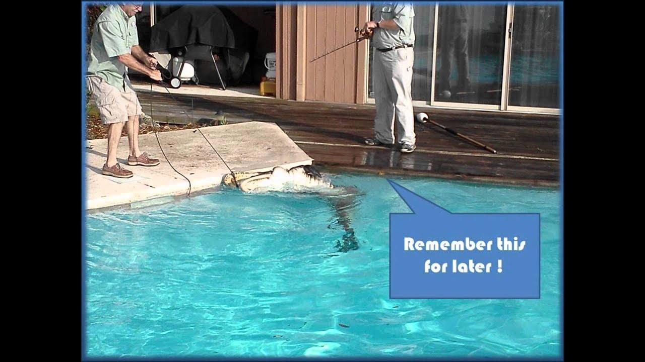 Alligator In Pool Ponte Vedra Beach Youtube