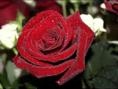 картинка красивые розы