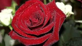 Самые красивые розы для моих друзей