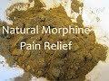 Making Wild Lettuce Pain Relief Medicine Powder