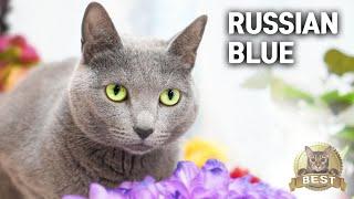 Russian blue Cat's Best CompilationㅣDino cat