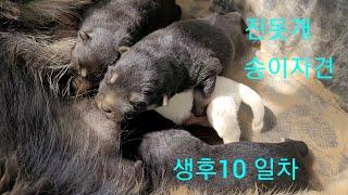 진돗개송이자견.생후10일차 성장기.Korean Jind…
