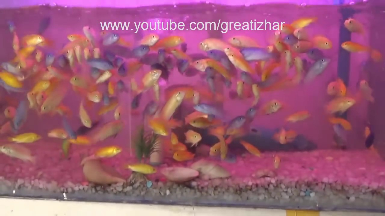 Freshwater fish marketing corporation - Basic Information Of Aquarium For Beginners Best Freshwater Fish For Beginners Urdu Hindi