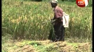 China to train Kenya rice farmers