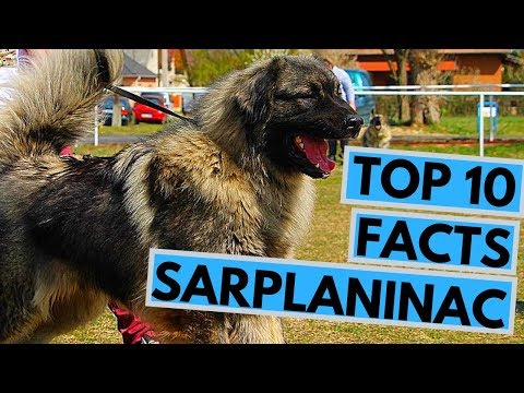 Sarplaninac - TOP 10 Interesting Facts