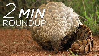 Extinct earwigs, a shark rescue & Angry Birds help save pangolins