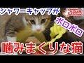 【猫おもしろかわいい】シャワーキャップを噛みまくる猫。ストレス発散です。&アイちゃんの天敵登場!?