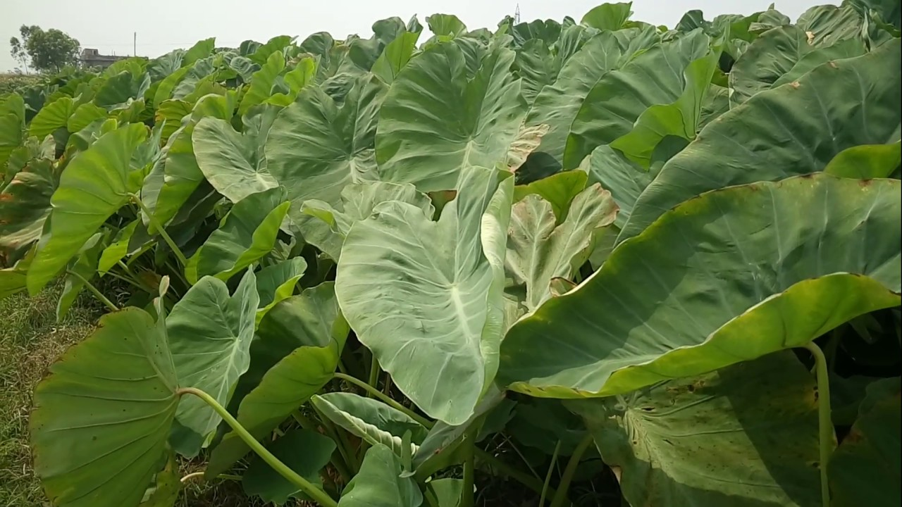 Forum on this topic: How to Grow Taro, how-to-grow-taro/