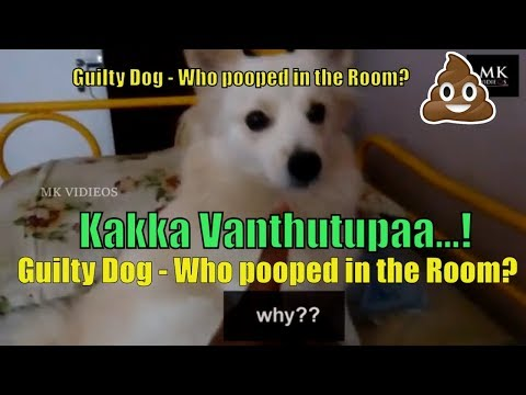 Guilty Dog - Who pooped in the Room? | mojoo's bad reaction