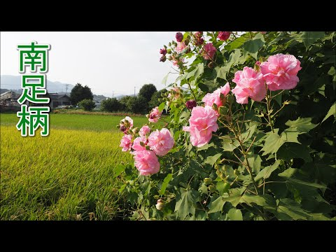 Blooming Cotton rosemallow in the rice fields. The color of flowers change pink from white. 南足柄 #4K