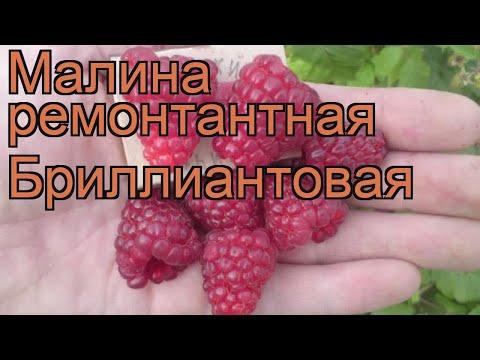 Малина ремонтантная Бриллиантовая (brilliantovaia) 🌿 обзор: как сажать, саженцы малины Бриллиантовая