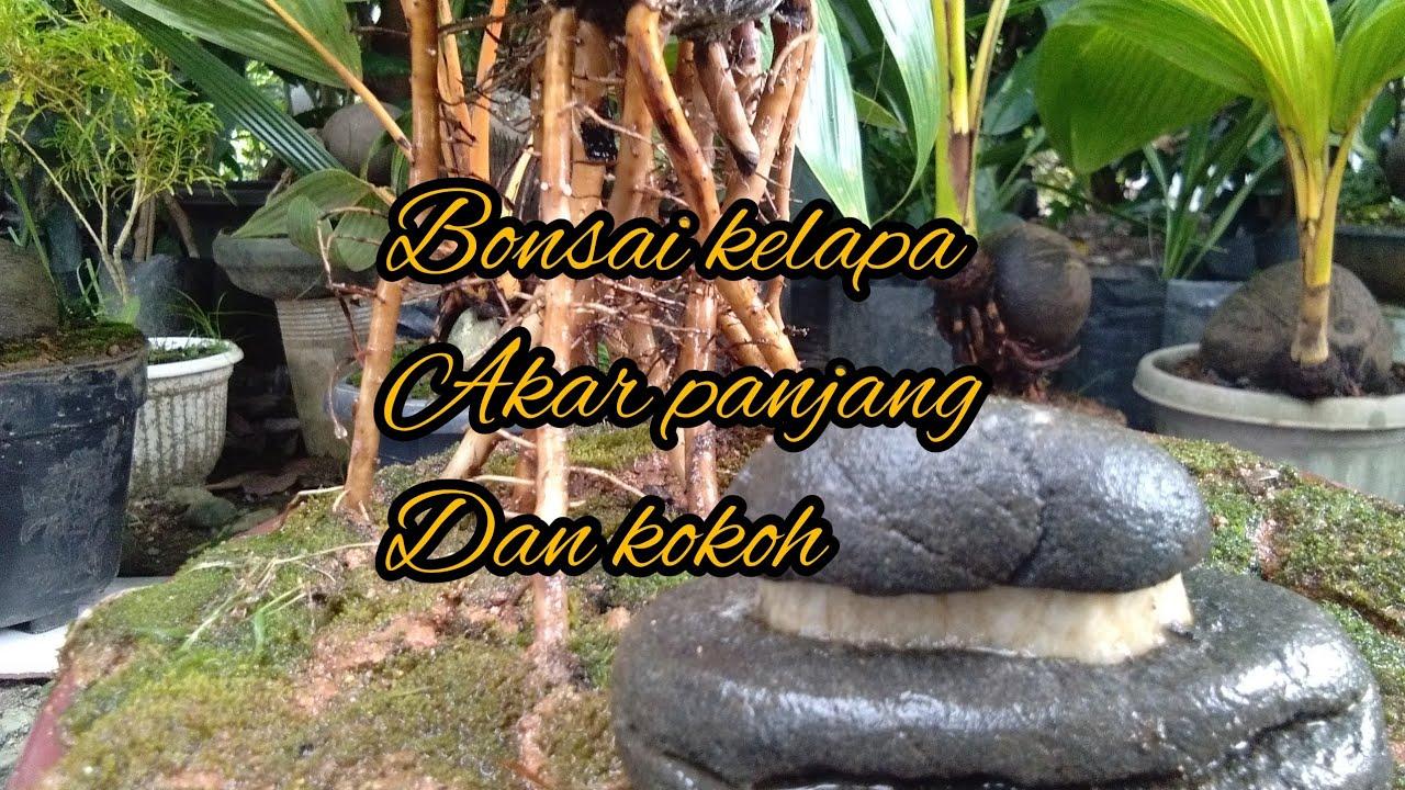 Bonsai Kelapa Akar Panjang Dan Kokoh Pidah Media Youtube