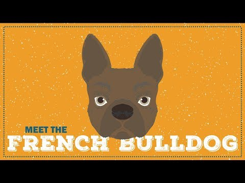 The French Bulldog | Breed Profile