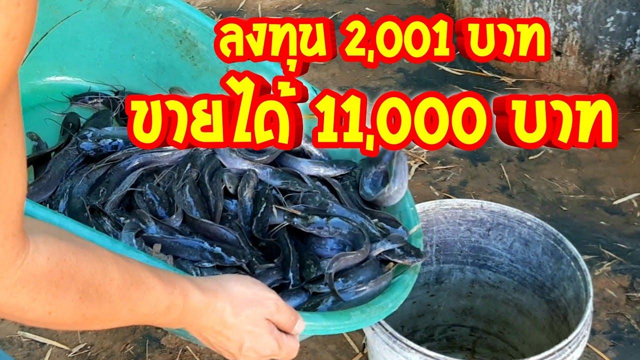 ลงทุน 2 พัน ขายได้เงินหมื่น ขายปลาดุกได้เงินกี่บาท กำไรเท่าไหร่  ลงทุนกี่บาท  หนึ่งบ่อได้กี่กิโล?