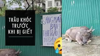 Chuyện lạ Việt Nam | Trâu khóc khi biết mình sắp bị g.iết