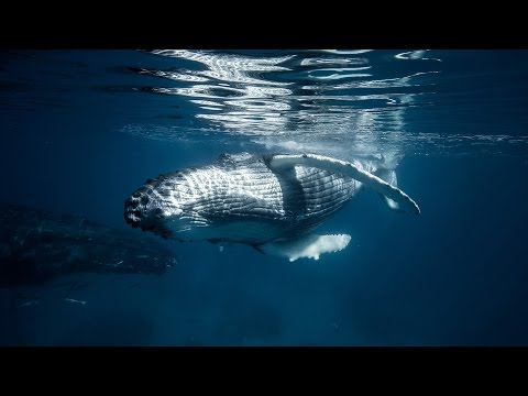 Tonga Whale Photography with Craig Parry 2015