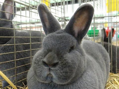 Венский голубой кролик - YouTube