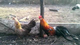 Feniksy miniaturowe i jedna kura duza