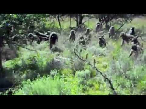 Baboons vs Python