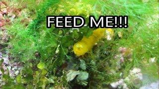 Mantis Shrimp vs Vampire Blenny