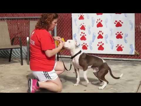 Rescue Pit Bull Learns Wait Command with Zuke