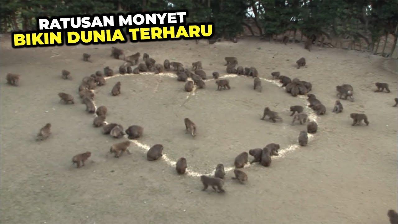 MENGHARUKAN...!!! Ratusan Monyet Berkumpul Untuk Memberikan Kejutan Manis Ke Seorang Gadis #YtCrash