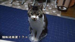 いつの間にかプチプチの上に転送されてきた猫は後ろ足ケリケリで自分のものアピール☆リキちゃんの特技☆猫転送装置【リキちゃんねる 猫動画】Cat video キジトラ猫との暮らし
