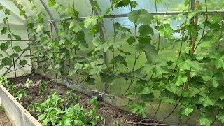 24 сорта винограда для северо-запада России!