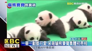 十隻貓熊寶寶齊亮相!超萌模樣征服眾人