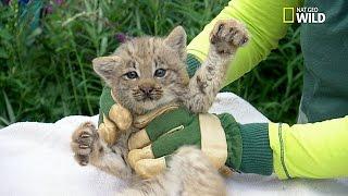 Trop chou !! Examen de 4 bébés lynx