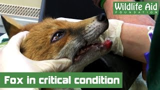 Fox in critical condition now!