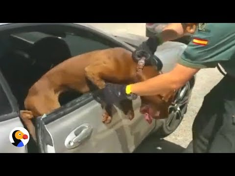 6ea303eb DOG TRAPPED in HOT CAR: What You Should Do | THE DODO - YouTube