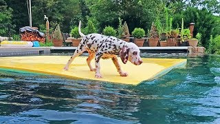 Puppy Dalmatian First Time Swimming