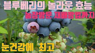 신이내린 선물,블루베리 효능,농장방문,재배방법