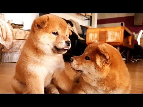 Lovely Shiba Inu family playing