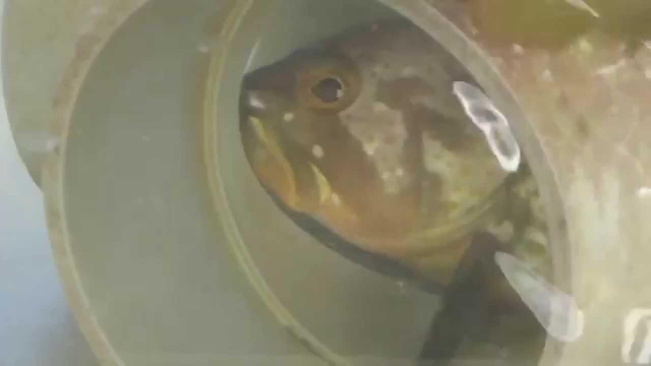 捕食したら安全な場所に即移動するのが魚の習性 - YouTube