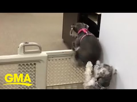 Dog helps puppy escape pet gate by lending a helping paw l GMA Digital