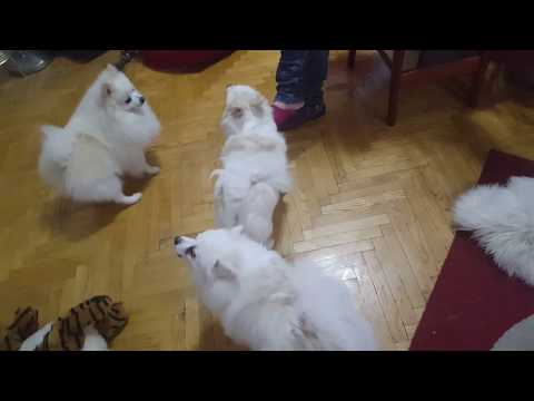 Klein German Spitz - Funniest Dog Breed!