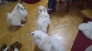 Klein German Spitz  Funniest Dog Breed!