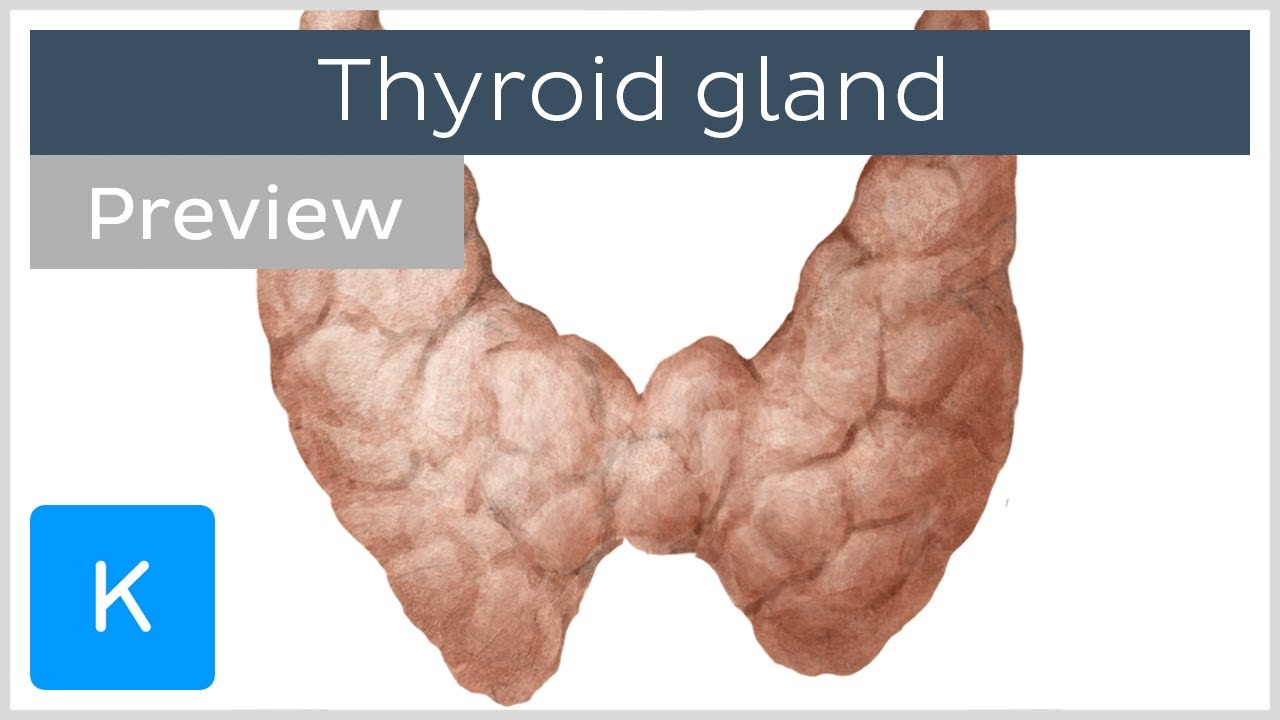 Thyroid Gland Cells Tissues Labeled Diagram Preview Human