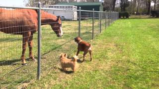 Dogs And Horse Play Together