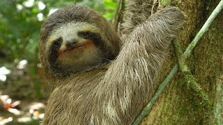 Pictures Of Sloths