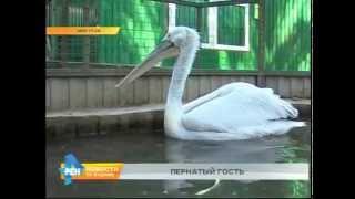 В Иркутск прилетел пеликан(, 2015-06-11T06:07:18.000Z)