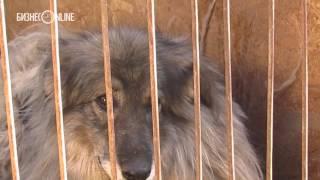 60 собак из приюта в Ковалях оставят без хозяина(Перевезти полсотни бесхозных Шариков из приюта в Ковалях собирались вчера судебные приставы. Зоозащитники..., 2015-09-26T06:47:30.000Z)