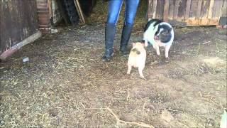 Mini Pig Tricks Slalom, Pfötchen